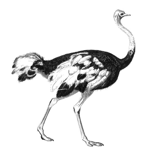 Vintage illustrations of ostrich Free Vector