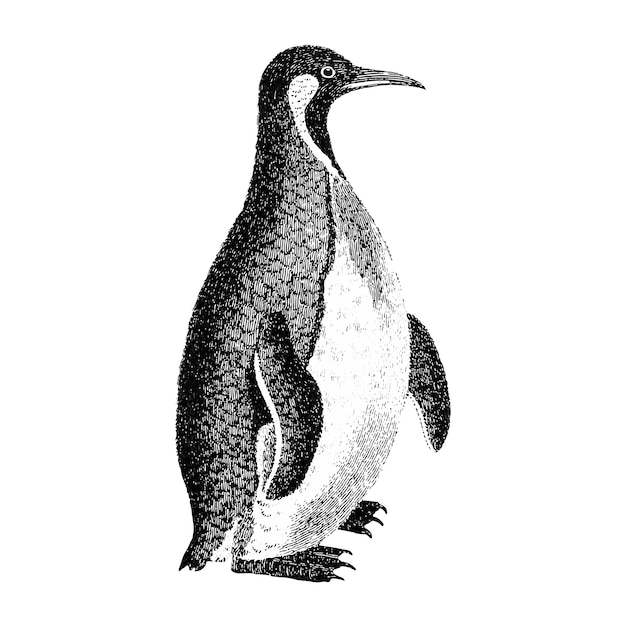 Vintage illustrations of patagonian penguin Free Vector
