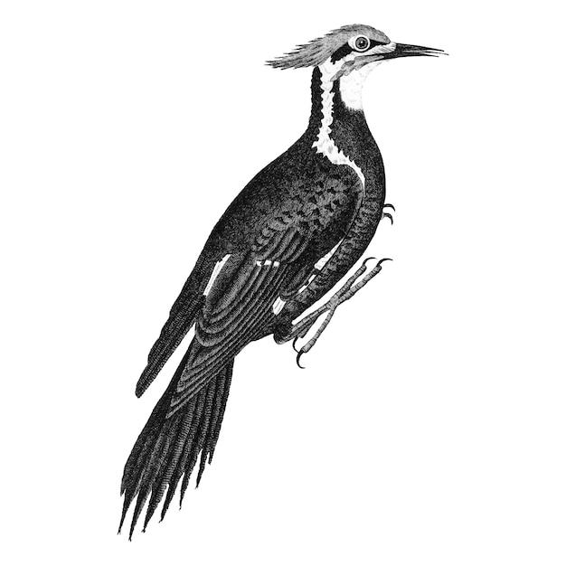 Illustrazioni d'epoca del picchio pileato Vettore gratuito