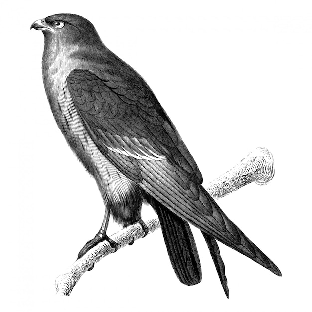 Vintage illustrations of red-footed falcon Free Vector