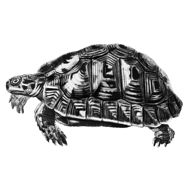 Vintage illustrations of tortoise Free Vector
