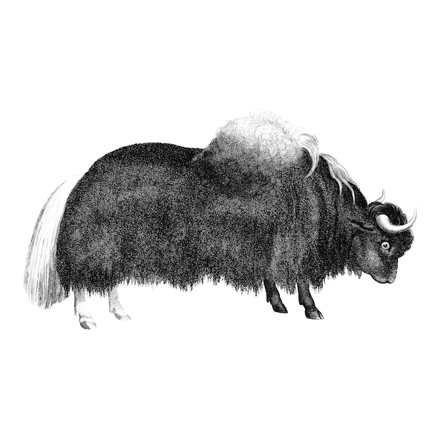 Vintage illustrations of yak Free Vector