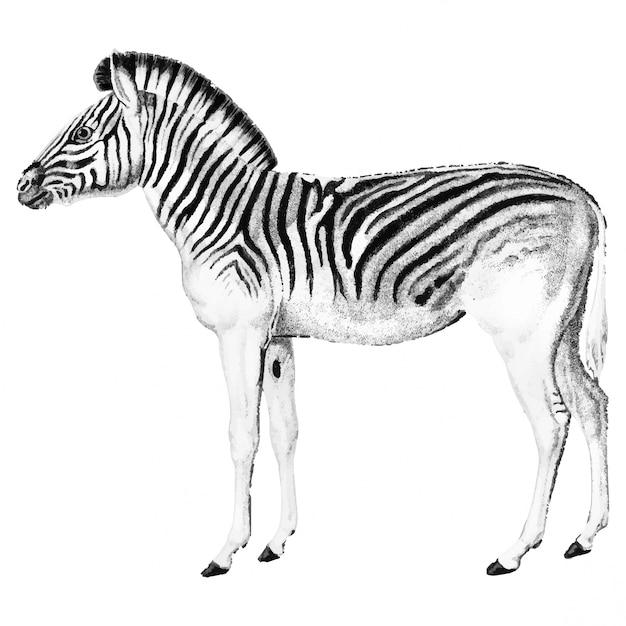 Vintage illustrations of zebra Free Vector