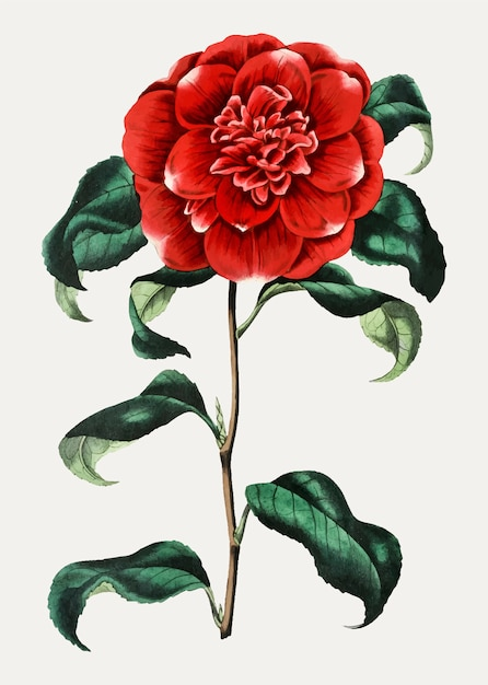 Vintage mr. reeves's crimson camellia for decoration Free Vector
