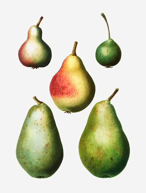 Vintage pear types drawing Free Vector