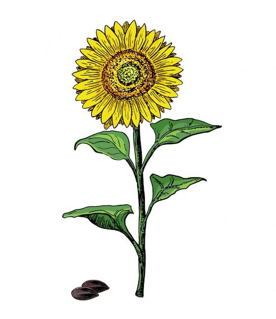 Vintage sketch drawing illustration of big sunflower  on white background. sunflower flower vector. hand drawn illustration  on white background. colorful botanical sketch. Premium Vector