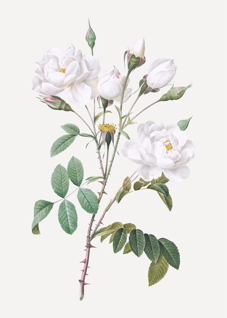 Vintage white rose poster Free Vector