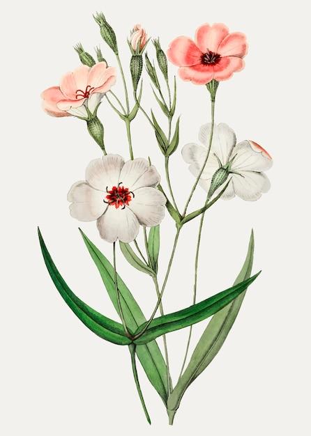 Viscaria flower Free Vector