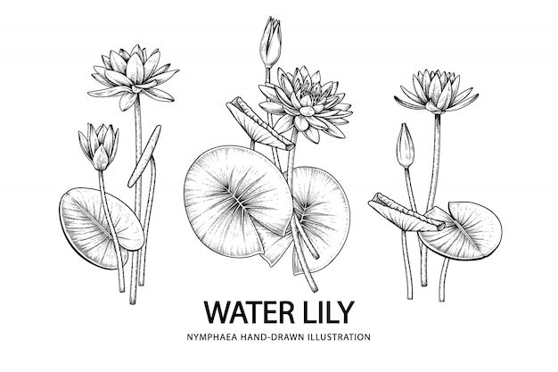 Premium Vector Water Lily Flower Drawings Illustration