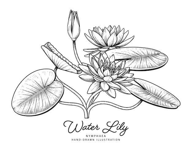 수련 꽃 손으로 그린 식물 삽화입니다. 무료 벡터