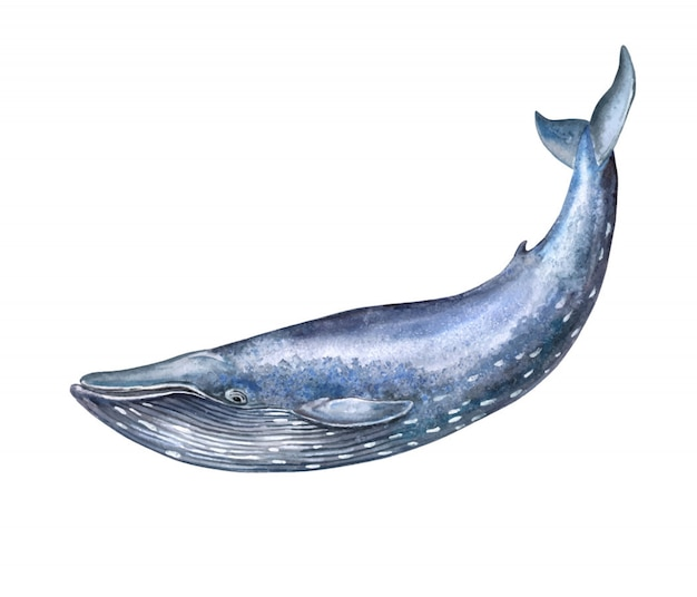 Watercolor big blue whale Premium Vector