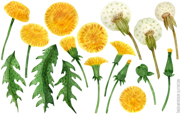 Watercolor dandelion flowers and leaves Premium Vector