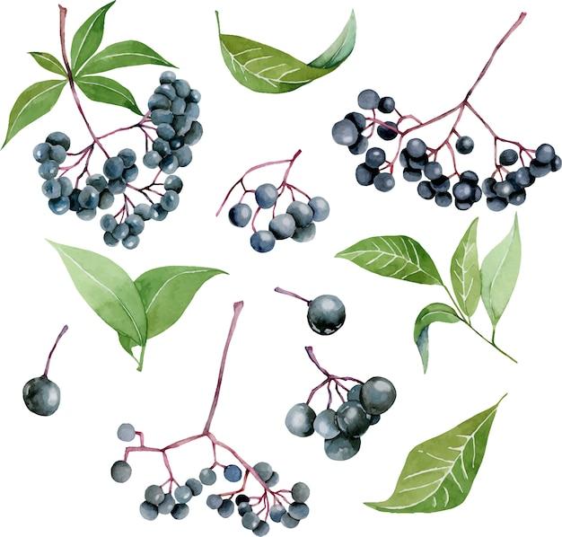 Watercolor eldeberries illustration collection Premium Vector