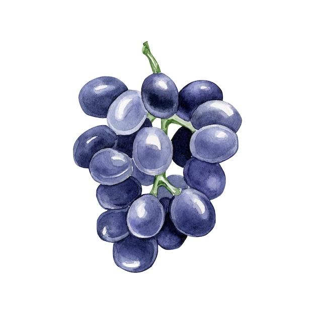 Акварельный виноград Premium векторы