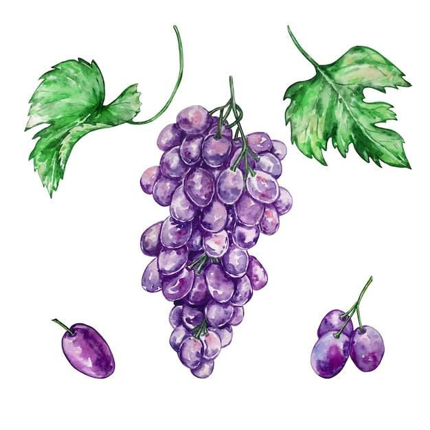 Акварель рисованной набор из большой грозди винограда и отдельно фиолетового винограда и двух больших зеленых листьев Premium векторы