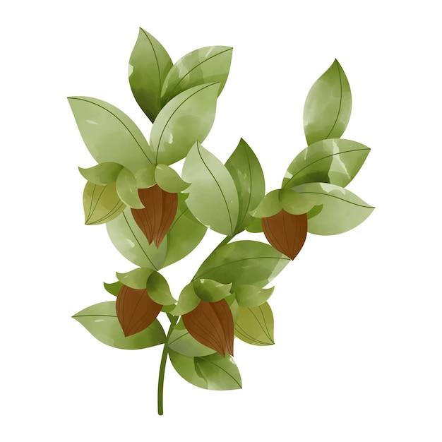 Illustrazione della pianta di jojoba dell'acquerello Vettore gratuito