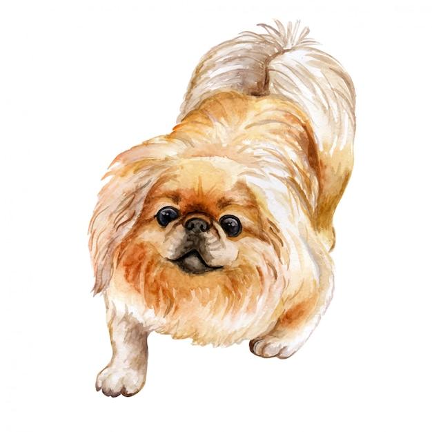 In watercolor pekingese dog Premium Vector