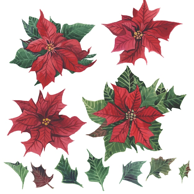 Watercolor poinsettia with christmas floral decor. Premium Vector