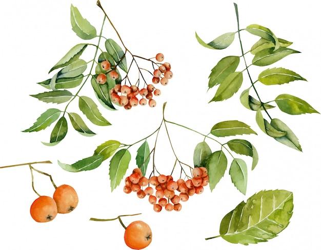 Watercolor rowan berries illustration collection Premium Vector