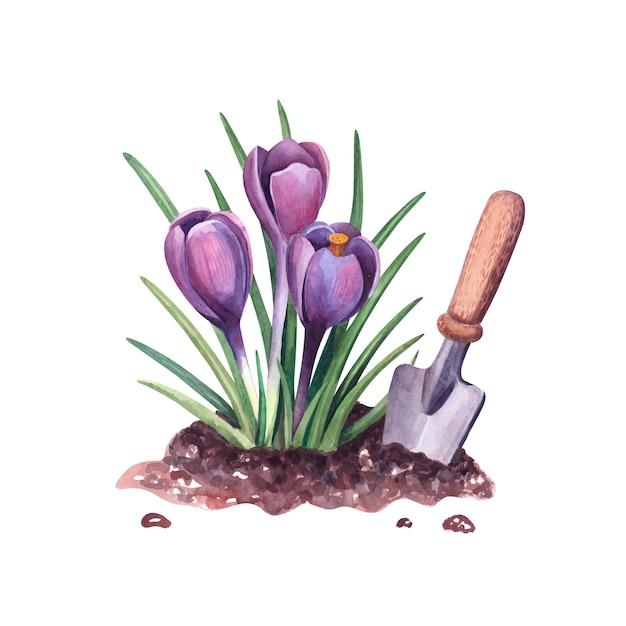 토양과 삽에 수채화 봄 크 로커 스 식물 그림 보라색 Snowdrops 꽃과 정원 도구 흰색 배경에 고립 프리미엄 벡터