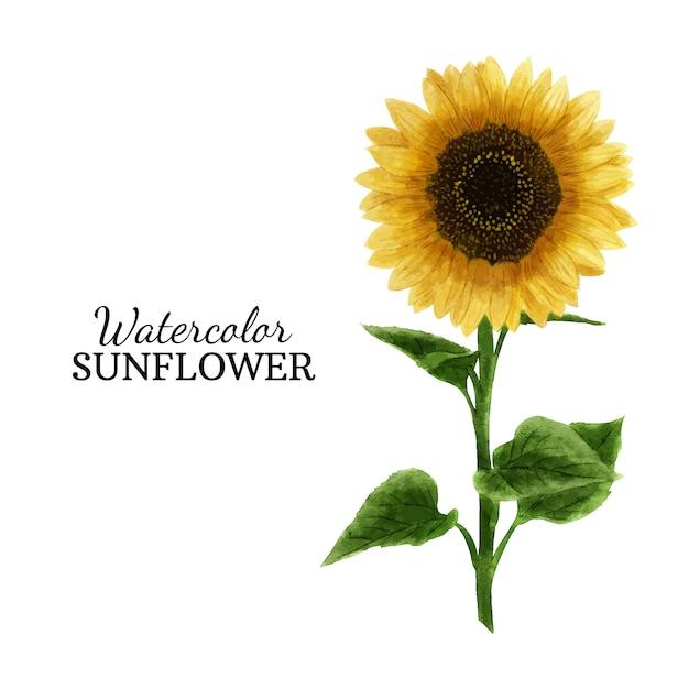 Watercolor sunflower Premium Vector