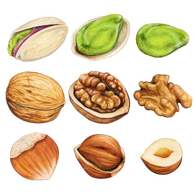 Акварельные зимние орехи Premium векторы