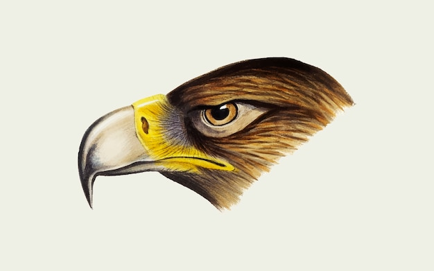 Wedge-tailed eagle illustration Free Vector