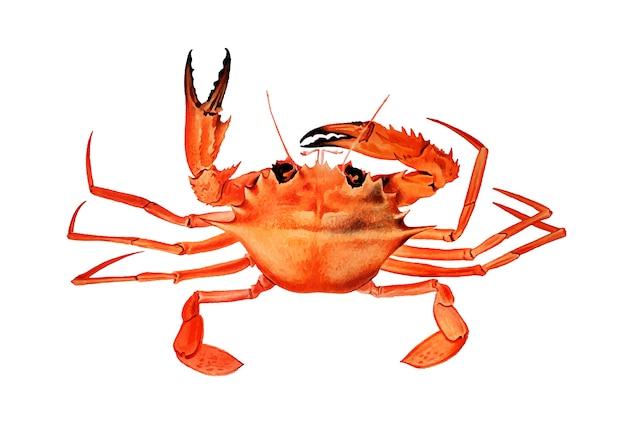 West african brachyuran crab Free Vector