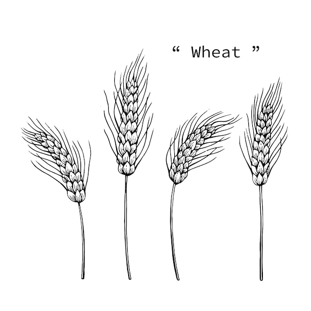 Wheat Drawing Illustration By Hand Drawn Line Art Vector Premium
