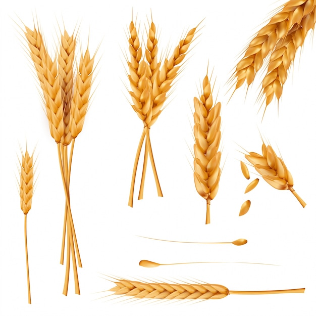 Wheat ears and seeds realistic vectors collection Free Vector