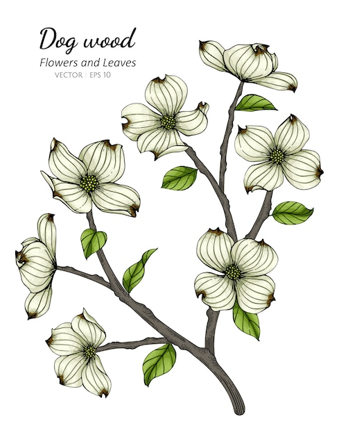 White dogwood flower and leaf drawing illustration with line art on white backgrounds. Premium Vector