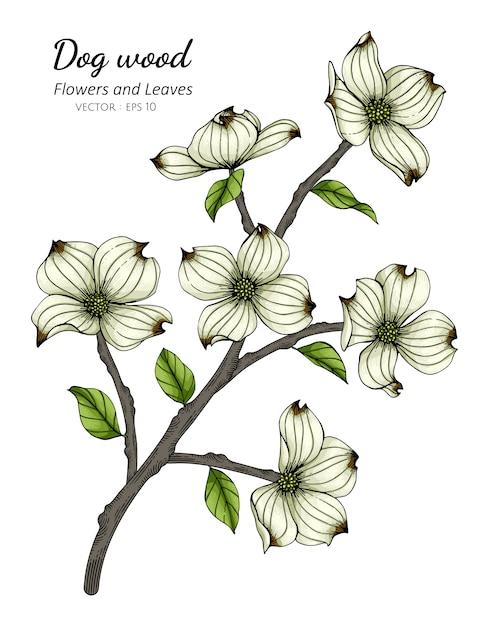 White dogwood flower and leaf drawing illustration Premium Vector