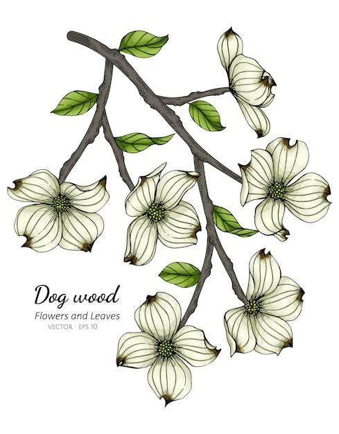 White dogwood flower and leaf drawing illustration Premium Vector