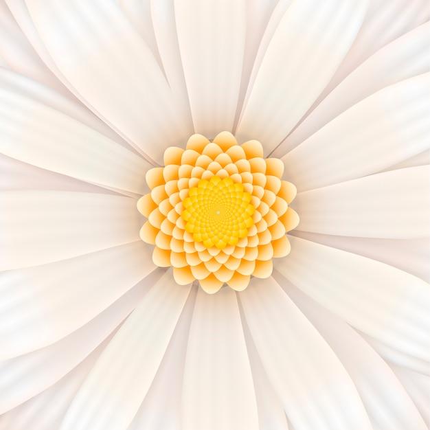 White gerbera flower in bloom Premium Vector
