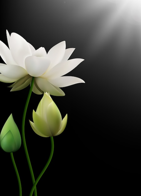 White Lotus Flowers With Rays On Black Background Vector Premium