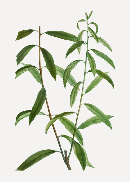 White willow branch Free Vector
