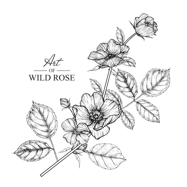 Wild Rose Leaf And Flower Drawings Vintage Hand Drawn Botanical