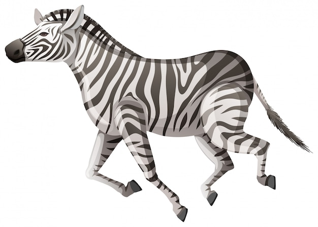 Wild zebra running on white Free Vector