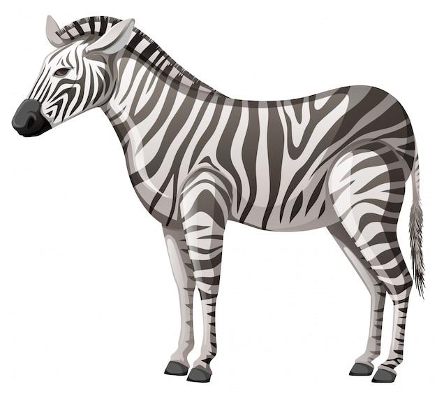 Zebra selvaggia che sta da solo sul fondo bianco Vettore gratuito