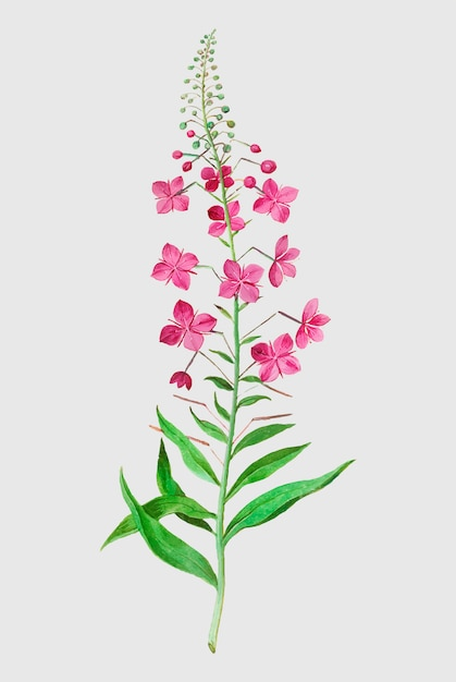 Willowherb in vintage style Free Vector