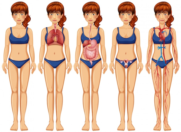 A woman body and anatomy Premium Vector