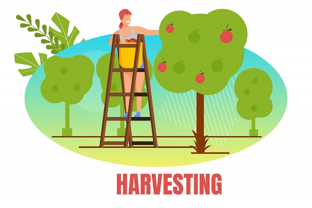 Woman farmer stand on ladder pick apple harvest Premium Vector