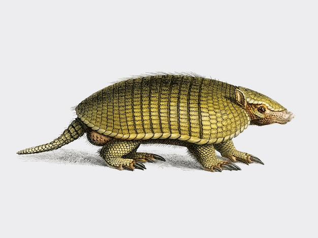 Yellow armadillo (euphractus sexcinctus) illustrated by charles dessalines d orbigny Free Vector