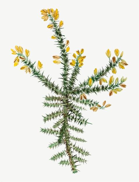 Fiore giallo di ginestra Vettore gratuito