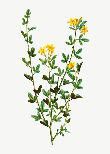 Yellow jasmine flowers Free Vector