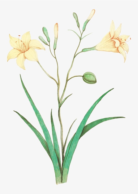 Yellow lily in vintage style Free Vector