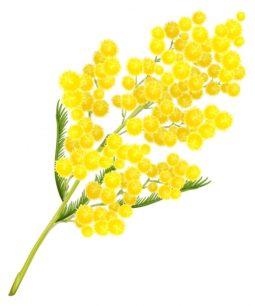 Yellow mimosa flower. mimosa flower symbol of womens day Premium Vector