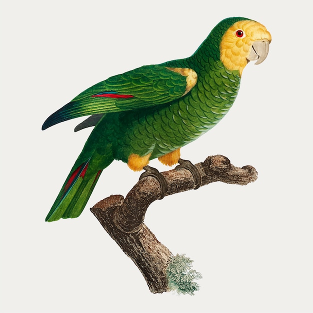 Yellow-shouldered parrot Free Vector