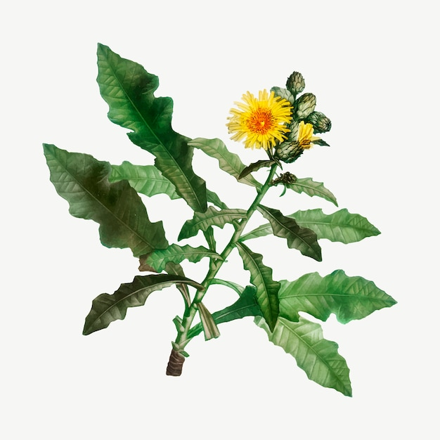 Yellow sow thistle Free Vector