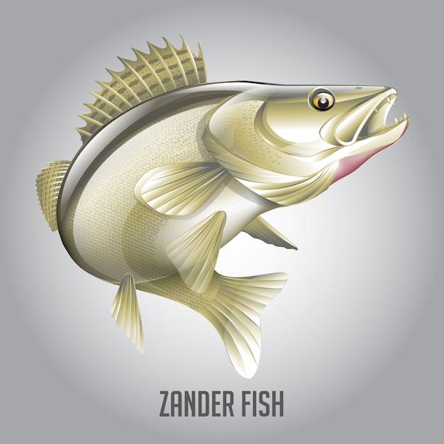 Zander fish vector illustration Premium Vector